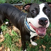 American Pit Bull Terrier Mix Dog for adoption in Manhattan, New York - Rin Tin Tin