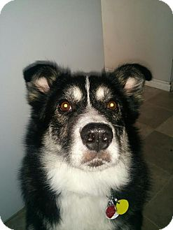 Husky Mix Dog for adoption in Edmonton, Alberta - DIESEL