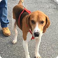 Adopt A Pet :: Copper - Burlington, NC