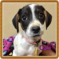 Adopt A Pet :: Cali - Brattleboro, VT
