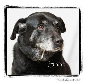Labrador Retriever Mix Dog for adoption in Warren, Pennsylvania - Soot