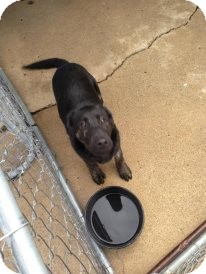 German Shepherd Dog/Dutch Shepherd Mix Puppy for adoption in Attica, Indiana - Sargent