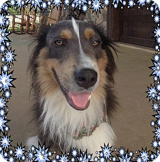 Border Collie Dog for adoption in Houston, Texas - Arnie