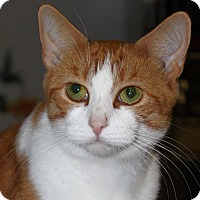 Adopt A Pet :: Creamsicle - North Branford, CT