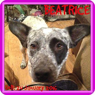 Australian Cattle Dog Mix Dog for adoption in Allentown, Pennsylvania - BEATRICE