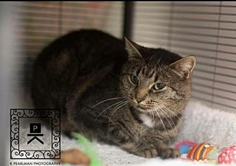 Domestic Shorthair Cat for adoption in Herndon, Virginia - Helen