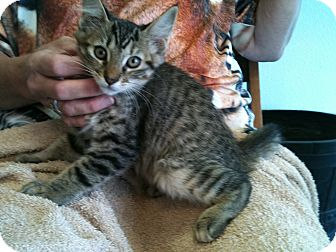 Domestic Shorthair Kitten for adoption in Phoenix, Arizona - Lulu