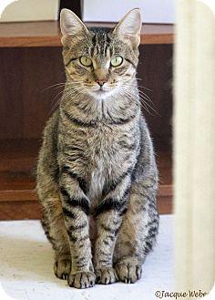 Domestic Shorthair Cat for adoption in St Louis, Missouri - Amazon
