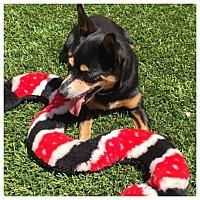 Adopt A Pet :: Andy - West LA, CA