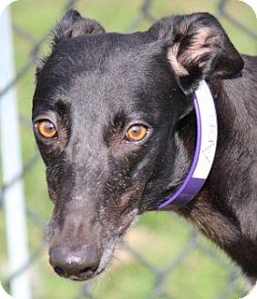 Greyhound Dog for adoption in Longwood, Florida - Anagram