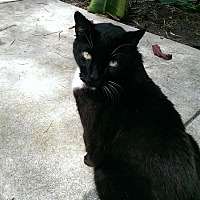 Domestic Shorthair Cat for adoption in Naples, Florida - Cocoa