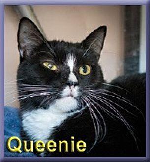 Domestic Shorthair Cat for adoption in Aldie, Virginia - Queenie