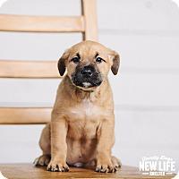 Adopt A Pet :: Apple Jacks - Portland, OR