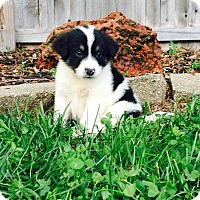 Adopt A Pet :: Hatchet_2017 - Virginia Beach, VA