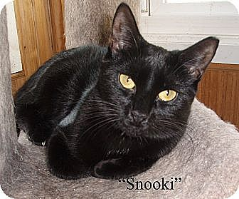 Domestic Shorthair Cat for adoption in Germansville, Pennsylvania - Snooki