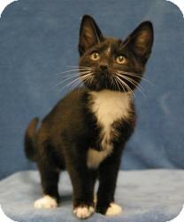 Domestic Shorthair Cat for adoption in Sacramento, California - Opie