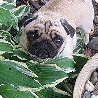 Adopt A Pet :: Lulu - Hinckley, MN