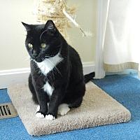 Adopt A Pet :: Cleo - Alexandria, VA