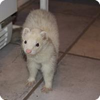 Adopt A Pet :: Porter - Chantilly, VA