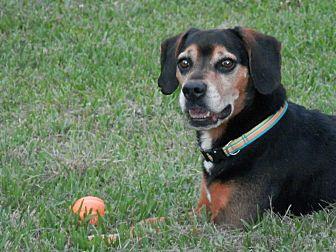 Hound (Unknown Type)/Beagle Mix Dog for adoption in Lake Charles, Louisiana - Houston