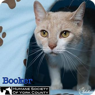 Domestic Mediumhair Cat for adoption in Fort Mill, South Carolina - Booker