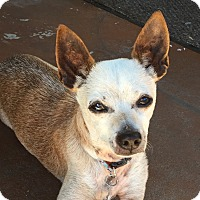 Chihuahua Mix Dog for adoption in San Diego, California - Wallace