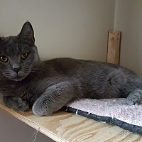 Domestic Shorthair Cat for adoption in Pottstown, Pennsylvania - Molly