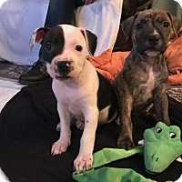 Adopt A Pet :: Claudia Jean (CJ) - Rochester, NY