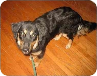 Australian Shepherd Mix Dog for adoption in Orlando, Florida - McKenna