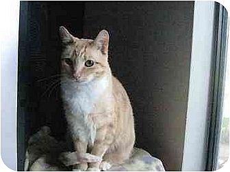 Domestic Shorthair Cat for adoption in San Jose, California - Sissy