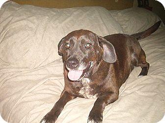 Beagle/Labrador Retriever Mix Dog for adoption in North Jackson, Ohio - Abby