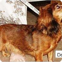 Adopt A Pet :: Delilah - Gilbert, AZ