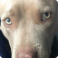Adopt A Pet :: Goldie - Norman, OK