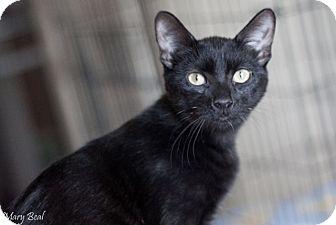 Domestic Shorthair Kitten for adoption in Prescott, Arizona - Ava