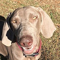 Weimaraner Dog for adoption in Birmingham, Alabama - Layla