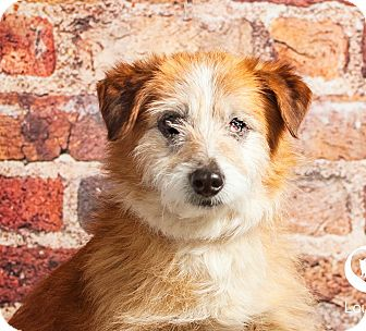 Corgi/Cairn Terrier Mix Dog for adoption in Cincinnati, Ohio - Badger- WAIVED FEE