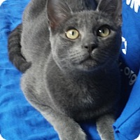 Adopt A Pet :: SHARK - Dallas, TX