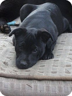 Labrador Retriever/Chow Chow Mix Puppy for adoption in Macon, Georgia - Loki