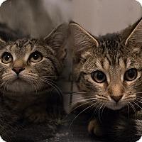 Adopt A Pet :: Joan's Kittens - Staten Island, NY