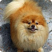 Adopt A Pet :: Koda - Tinton Falls, NJ