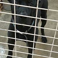 Labrador Retriever/Pit Bull Terrier Mix Dog for adoption in Odessa, Texas - King