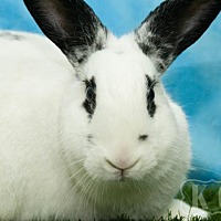 Adopt A Pet :: Nester - Pflugerville, TX