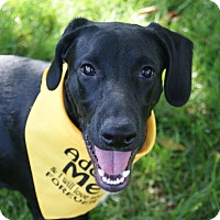 Adopt A Pet :: Yankee Beatty - Urbana, OH