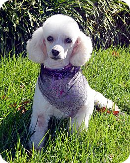 Poodle (Miniature) Dog for adoption in Bridgeton, Missouri - Blanch