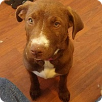 Adopt A Pet :: Brownie - El Paso, TX