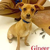 Adopt A Pet :: Ginger - Laplace, LA