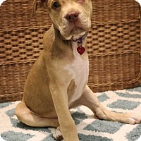 Adopt A Pet :: Belle - Hagerstown, MD