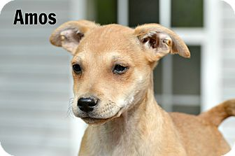 Beagle/Terrier (Unknown Type, Small) Mix Puppy for adoption in Glastonbury, Connecticut - Amos