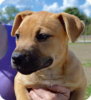 Labrador Retriever/Shepherd (Unknown Type) Mix Puppy for adoption in CRANSTON, Rhode Island - Chloe