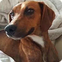 Adopt A Pet :: Pixie - Jacksonville, NC